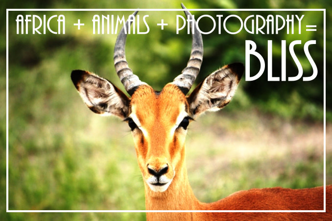 Foto Flip Friday Winner James FlyIcarusFly Chobe Impala Postcard photo Front, June 2014 Theme: Follow Your Dreams