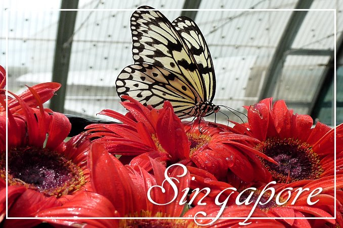 Foto Flip Friday March 2015 Theme: Blooms - Singapore Butterfly Blooms Postcard photo Front