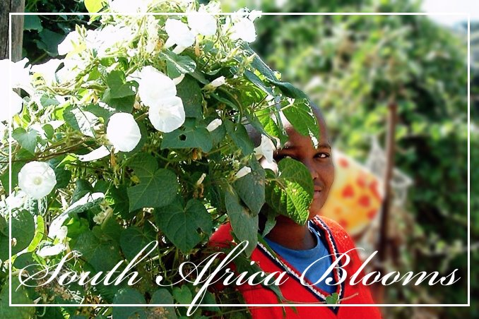 Foto Flip Friday March 2015 Theme: Blooms - South Africa Blooms Postcard photo Front