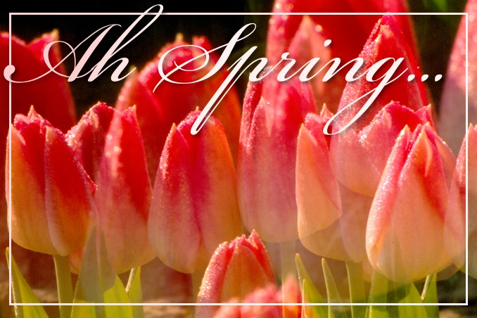 Foto Flip Friday March 2015 Theme: Blooms - Soft Tulips Postcard photo Front