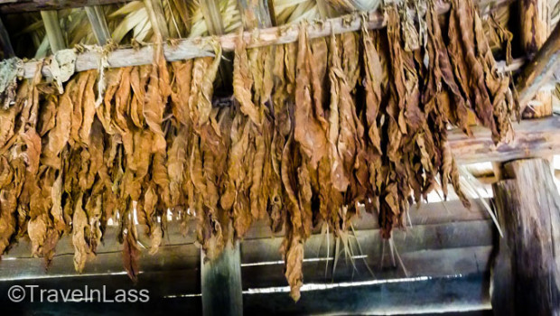 Tobacco leaves hung to dry