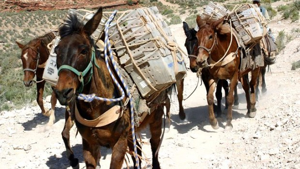 """Mules"" are an expat's best friend."