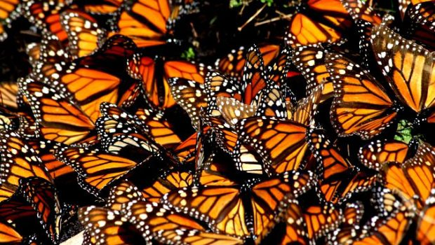 Millions of Monarch buttterflies on their annual migration to Mexico