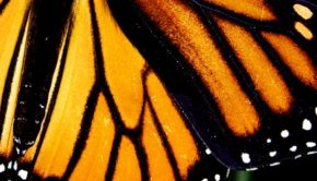 Operation Mariposa: Heading to the high forests of Michoacán, Mexico to witness the legendary Monarch butterfly migration.