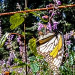 Rosario-Butterfly-Sactuary-17 (MEXICO: Butterflies DRIPPING from the Trees!)